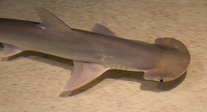 Tubarões utilizam o campo magnético da Terra para voltar para suas regiões de origem - (Foto: Divulgação/Shark-References)